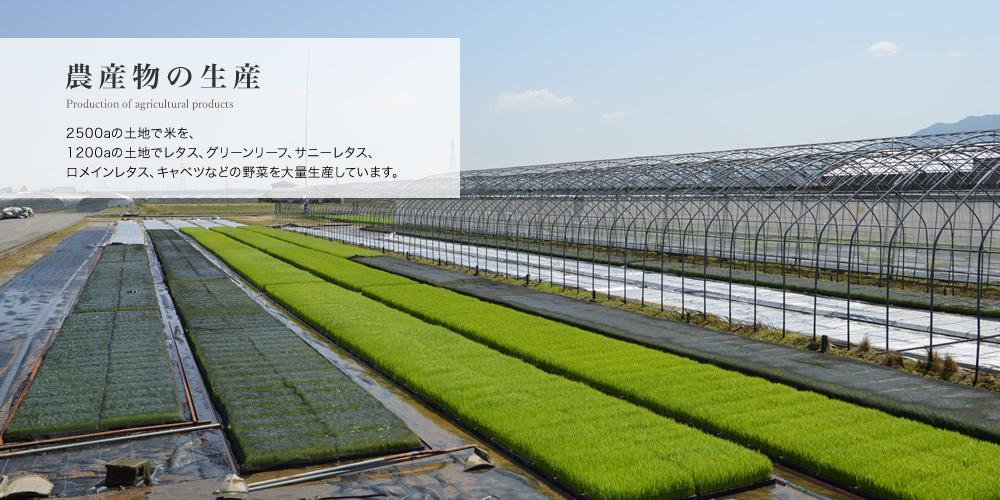 農産物の生産/2500aの土地で米を、1200aの土地でレタス、グリーンリーフ、サニーレタス、ロメインレタス、キャベツなどの野菜を大量生産しています。